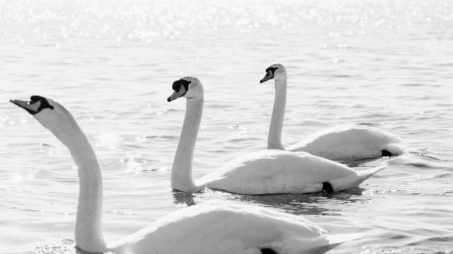 In a row Animal Themes Animal Wildlife Animals In The Wild Bird Day Lake Nature No People Outdoors Swan Swimming Water Water Bird Young Animal