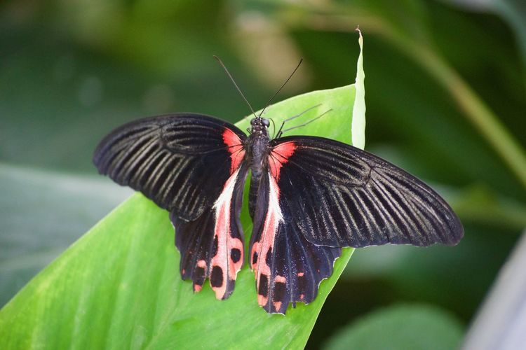 Animal Themes Animal Wildlife Animal Wing Animals In The Wild Beauty In Nature Butterfly Butterfly - Insect Close-up Day Focus On Foreground Fragility Green Color Insect Leaf Nature No People One Animal Outdoors Plant Pollination Spread Wings