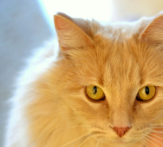 Golden kitty Animal Themes Close-up Cute Day Domestic Animals Domestic Cat Eyes Feline Ginger Cat Golden Indoors  Looking At Camera Mammal No People One Animal Pets Portrait Relaxation Whisker