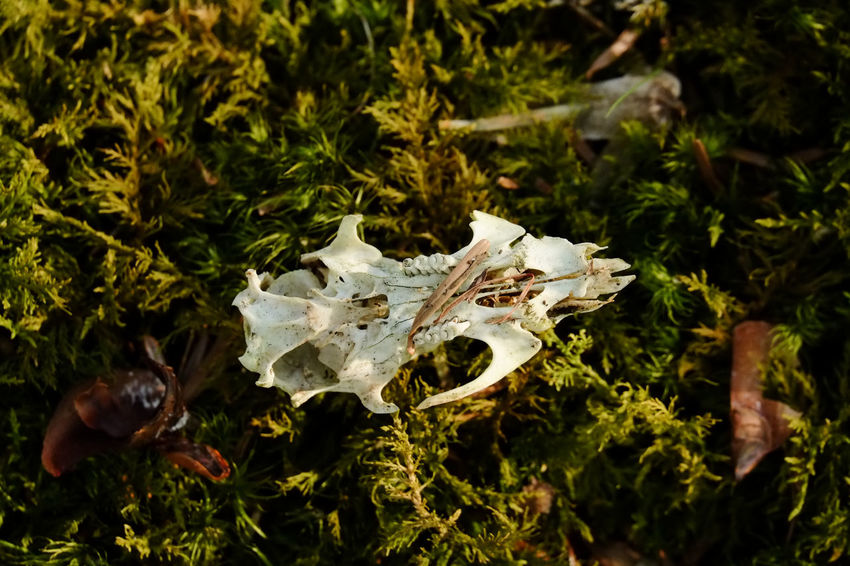 Squirrel skull on moss found in the woods Mortality Red Squirrel Animal Skull Animal Themes Forest Moss Nature Nature Diary Outdoor Outdoors Skull Squirrel Skull Survival Wildlife
