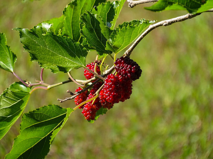 ezefer Beauty In Nature Berry Fruit Close-up Day Focus On Foreground Food Food And Drink Freshness Fruit Green Color Growth Healthy Eating Leaf Nature No People Outdoors Plant Plant Part Red Ripe Tree Wellbeing