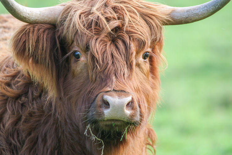 Highland Cow Mammal Animal Domestic Animals Animal Themes Livestock Cattle Horned Domestic One Animal Domestic Cattle Pets Highland Cattle Vertebrate Brown Animal Hair Close-up Portrait Field Cow Land No People Herbivorous Animal Head