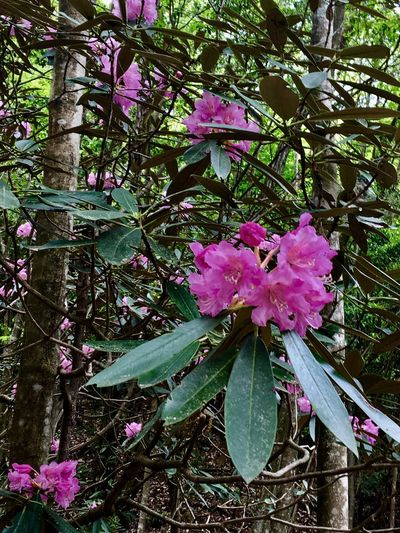 Subject : A Rhododendron Tree in Full Blossom Growing in the Natural Habitat. Beauty In Nature Nature Tree Branch Blossom Petal Pink Color Growth Fragility Freshness Flower Head Springtime Day Outdoors No People Close-up . Taken in Higashi-Hiroshima , Japan on May 23, 2017 ( Submitted on June 20, 2017 )