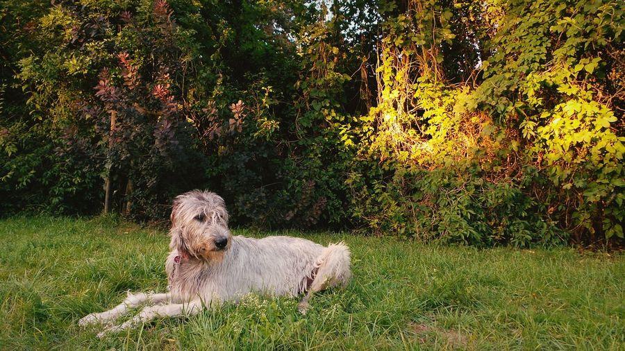 Irish wolfhound resting on grassy field