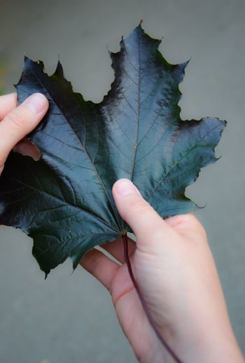 MapleMajesty Human Hand Leaf Human Body Part Holding One Person Human Finger Unrecognizable Person Real People Personal Perspective Autumn Close-up Outdoors Day Nature People Maple Leaf Crimson King Norway Maple Norway Maple Leaf Holding Nature Dark Leaf The Week On EyeEm Perspectives On Nature