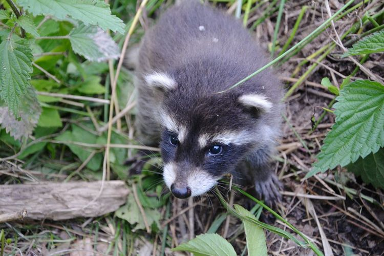 kleines Waschbärbaby Raccoons Raccoon Lover Bear Animals In The Wild Animal Wildlife Animal Head  Animal Photography Animal_collection Animal Body Part Tierfotografie Baby Meadow Wildlife Wildlife & Nature Wildlife Photography Grass One Animal Animal Mammal Cute Animal Wildlife Looking At Camera Close-up Outdoors Portrait Animal Themes Nature No People Pets Raccoon