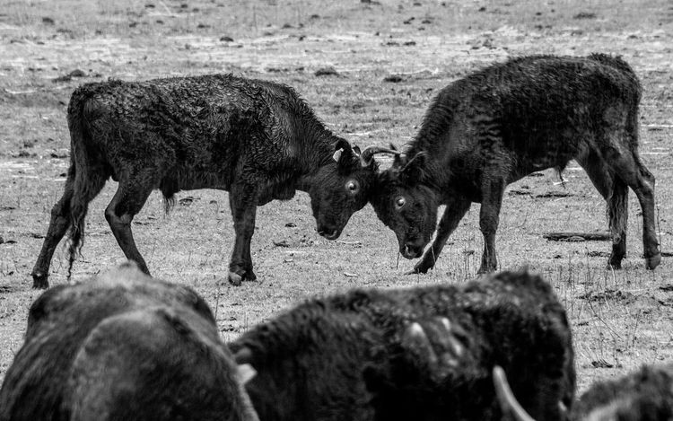 Animal_collection Black And White Bulls Camargue Photography Taureaux Travel Photography Traveling Wild Outdoors Mammal Nature Fight Fighting Black Rain France Travel Destinations