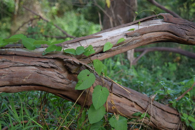 Branched Ivy