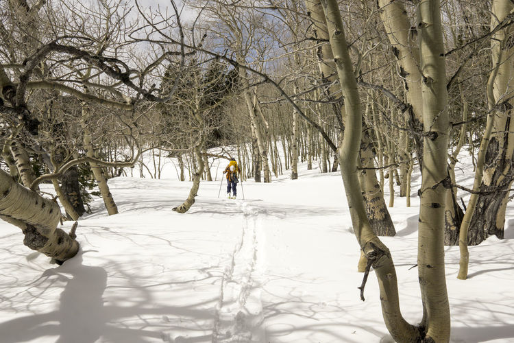 A skier treks through an aspen grove. Alternative Fitness Aspen Asphalt Backcounr Bare Tree Beauty In Nature Cold Temperature Leisure Activity Lifestyles Nature Outdoors Season  Skiing Snow The Way Forward Tranquil Scene Tranquility Winter The Great Outdoors With Adobe