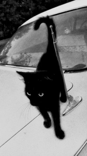 High Angle View Day Outdoors Transportation No People One Animal Blue Animal Themes Full Length Nature Mammal Close-up Black And White Photography Cat Cat On Car Black Cat Pet Furfamily Vintage Cars Old Car Outdoor Photography Black Cat Crossing Your Path Bad Luck Superstitious Funny Cat