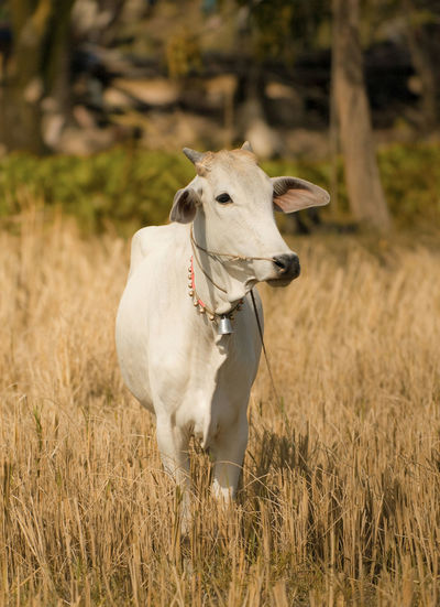 A cute Cow Animal Themes Cattle Cow Dairy Cow  Dairy Farm Day Development Domestic Animals Domestic Cattle Ecological Field Grass Livestock Looking At Camera Mammal Nandi Nature No People One Animal Organic Organic Farming Outdoors Pet Standing White