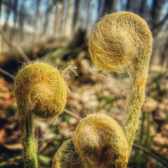 Fiddlehead time is here💚🌲 Spring Forest Earth Ferns Fiddleheads Peace And Quiet Hike EyeEm Nature Lover Nature