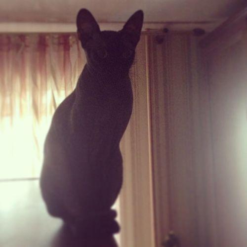 Cat Cats Sphinx