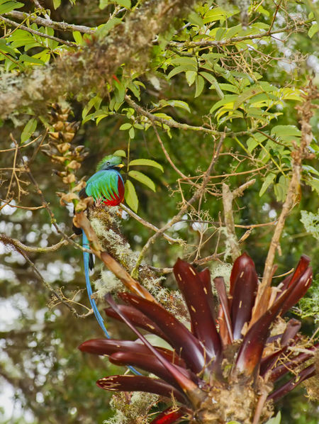 Beautiful and rare Resplendent Quetzal Animals In The Wild Beautiful Costa Rica Endangered Species Exotic Feathers Pharomachrus Pharomachrus Mocinno Quetzal Resplendent RESPLENDENT QUETZAL Tourist Attraction  Avian Beauty In Nature Bird Bird Watching Cloud Forest Cloud Forest Dome Cute Forest Graceful Iridescent  Jungle Rare Tropical