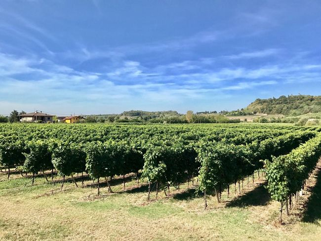 Wineyards in my area Agriculture Field Landscape Growth Farm Crop  Vineyard Nature Rural Scene Winemaking Day No People Scenics Tranquility Tree Beauty In Nature Sky Outdoors wonderful country