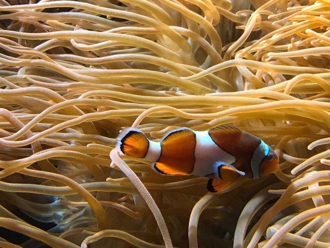 Aquarium Fish Clown Fish Sea Life Swimming