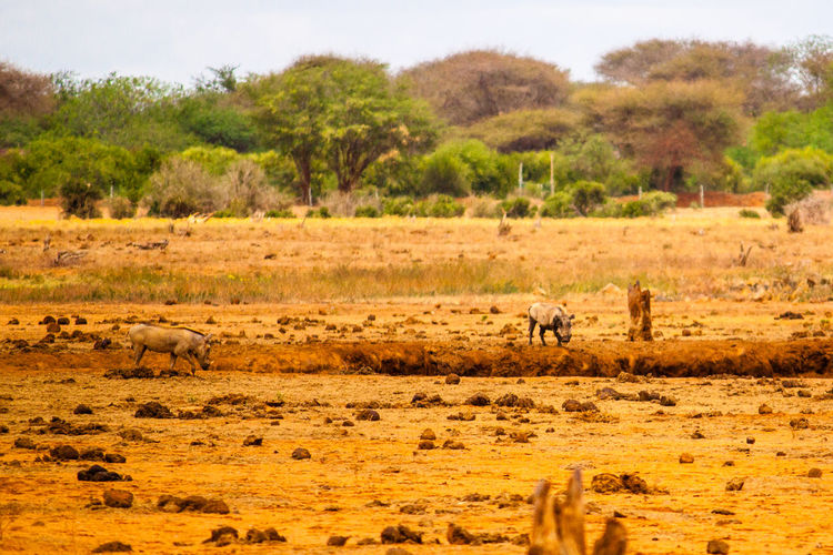 Wild boars on field at tsavo east national park