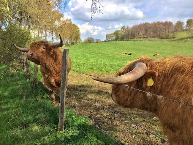 Two scottish highland cattles at the fence on a meadow Domestic Animals Animal Themes Cow Cattle Grass Field Cloud - Sky Highland Cattle Brown Scratching Scottish Meadow Longhorn Long Horns Long Hair Highland Cow Farm Cattle Breeding Barbed Wire Scottish Highland Cattle Two Countryside Herd Watching Farm