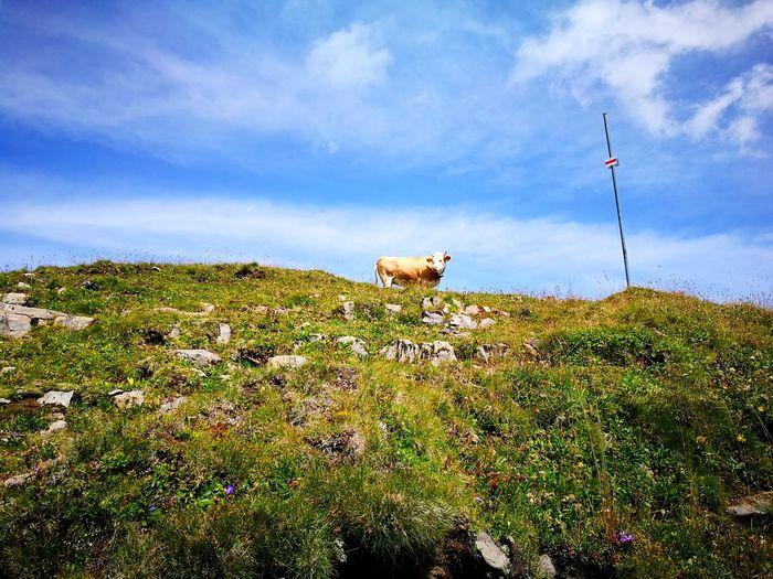Cow Swiss Alps
