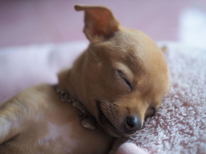 Close-up of a dog sleeping on bed at home