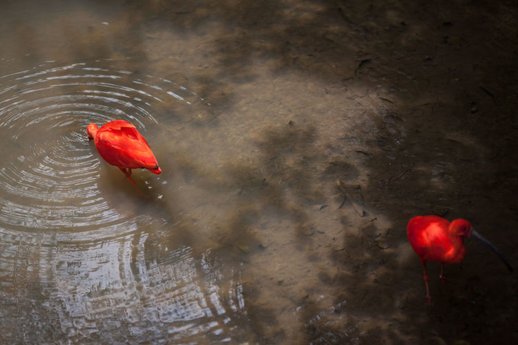 High angle view of scarlet ibis on lake