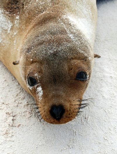 Portrait of young sea lion on sand in galapagos islands