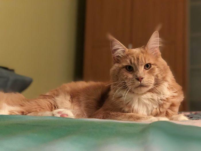 ❤️ Like Cat Follow4follow Mainecoon EyeEm Selects Cat Domestic Cat Feline Pets Mammal Animal Themes