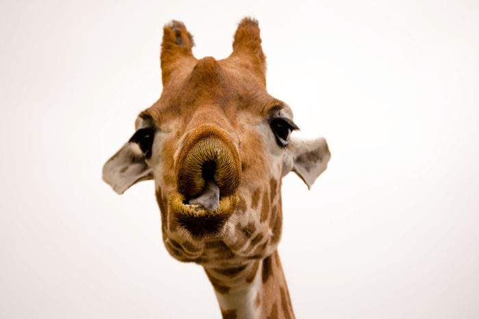 Animal Nose Close-up Extreme Close Up Extreme Close-up Focus On Foreground Giraffe Herbivorous Looking At Camera No People One Animal Snout Studio Shot White Background