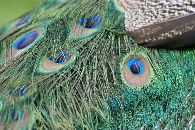 High angle view of peacock feathers