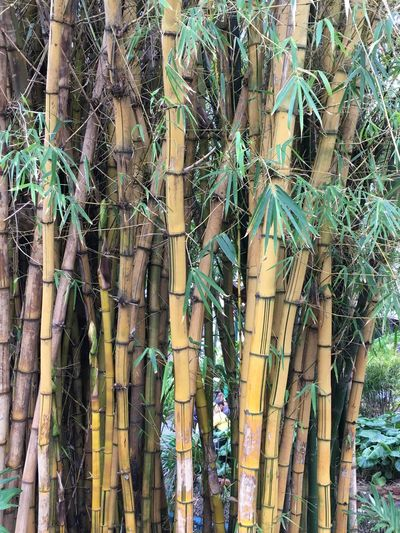 Agriculture Cane Plant Canes Funchal Funchal Madeira Madeira Madeira Island Portugal Cane Close-up Green Color No People Plant Sugar Cane Sugar Canes Sugar Production Tree Trunk