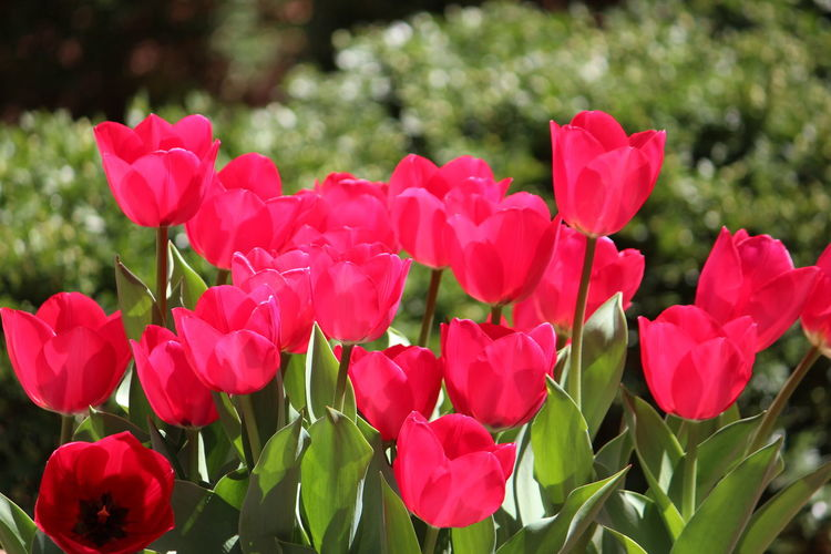 Flower Flowering Plant Beauty In Nature Plant Petal Fragility Vulnerability  Freshness Flower Head Growth Close-up Inflorescence Red Nature Focus On Foreground Day Leaf No People Plant Part Pink Color Outdoors Springtime Flowerbed Tulips🌷 Spring Flowers