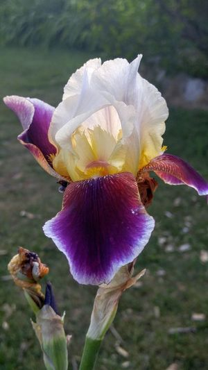 Beauty In Nature Close-up Deep Colors Flower Focus On Foreground Fragility Freshness Iris Nature Petal Plant Purple And Yellow Purple And Yellow Iris Single Flower