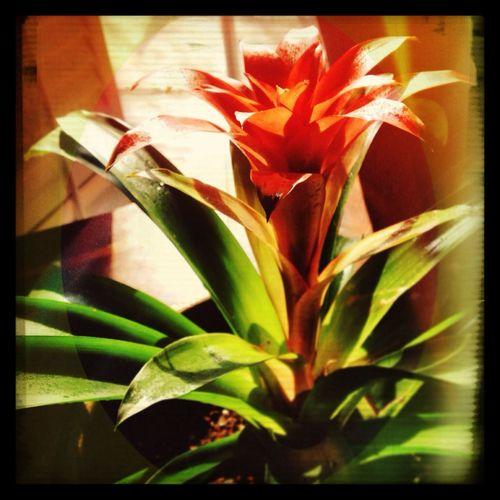 I love my Bromeliad! 100happydays Plants