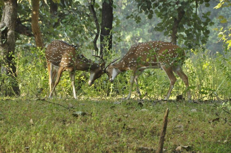 Bandhavgarh Animals In The Wild Animal Wildlife Spotted Nature Outdoors Travel Destinations Bandhavgarh National Park India Indian Deer Deer Moments
