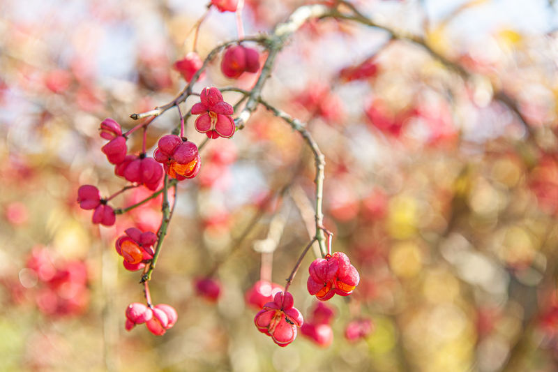 Close-up of pink cherry blossoms on tree
