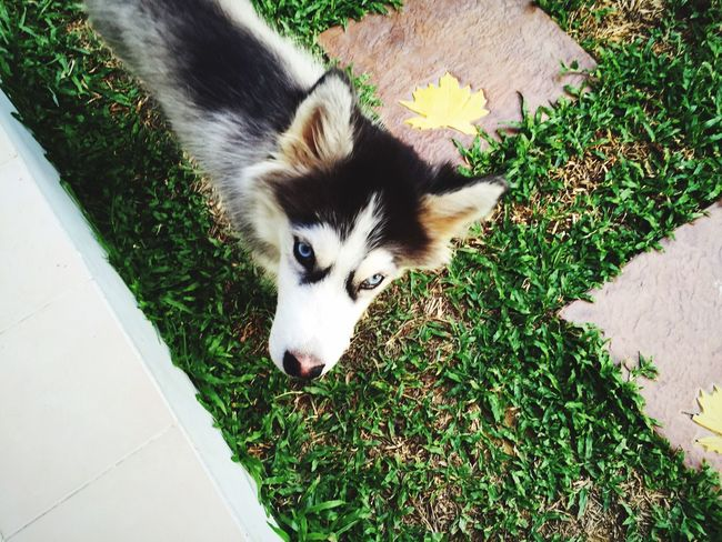 Dog Syberianhusky Garden Dog In Natural Environment Pet Cute Pets Cute Dog  Puppy Found On The Roll Husky