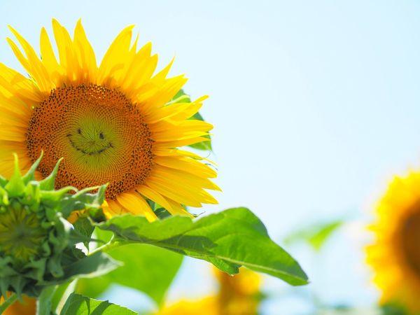 今日の東京地方はとても蒸し暑かった💦 Sunflower Flower Flower Head Freshness Petal Fragility Yellow Plant Close-up Leaf Day No People Outdoors Sky Olympus OM-D E-M5 Mk.II 果たして私は笑顔で仕事出来ていたかな?