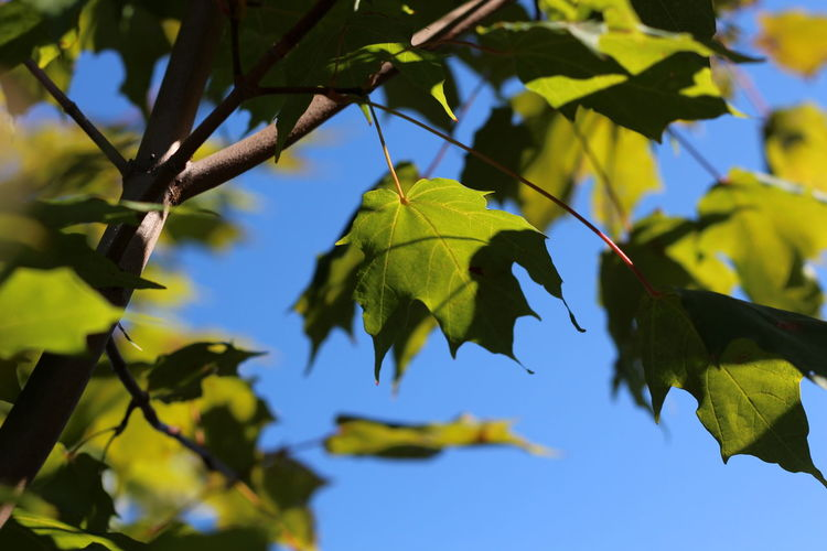 Autumn Beauty In Nature Close-up Day Focus On Foreground Green Color Growth Leaf Low Angle View Maple Maple Leaf Nature No People Outdoors Sky Tree