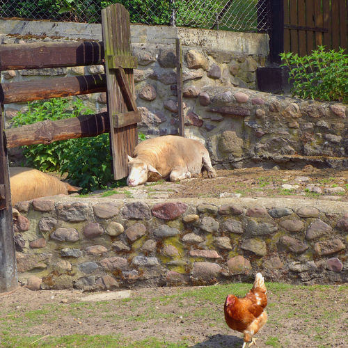 Unterwegs auf dem Elberadweg Animal Animal Themes Chicken Domestic Animals Lying Down Mammal Pets Relaxation Resting Sheep Walking Around Wall Wooden Fence Zoology