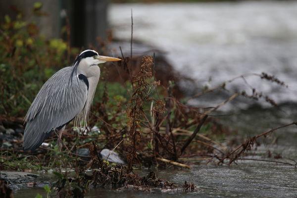Airone Cenerino Birdwatching Ardeidae Lanscape Bird Animal Wildlife Animals In The Wild Water Outdoors Nature No People Animal Themes