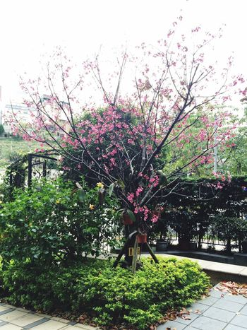 Sakura Blossom is downstairs of my house. Pretty No Need To Go To Mountain Appreciate The Scenery