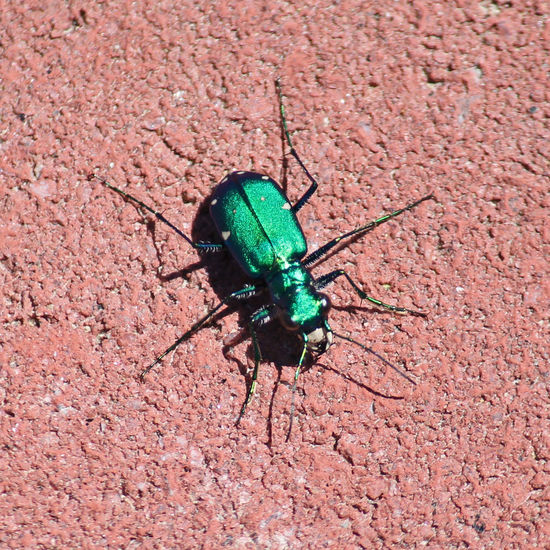 Six-spotted tiger beetle Green Nature Nature On Your Doorstep Beetle Close-up Insect Iridescent Color Six Spotted Tiger Beetle