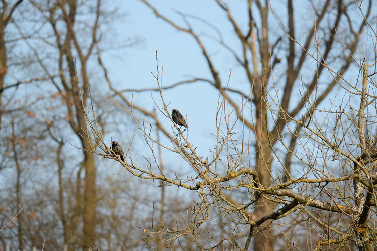 European Starling Winter Animal Themes Animal Wildlife Animals In The Wild Bird Common Starling Low Angle View Nature No People Outdoors Starlings In Vineyard Starlings On Fruit Tree Sturnus Vulgaris Tree Wildlife