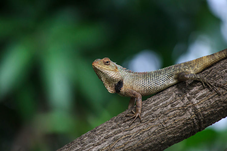 Close-up of bearded dragon on tree