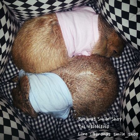 Sweet Dreams Prairie Dogs Thailand Pets