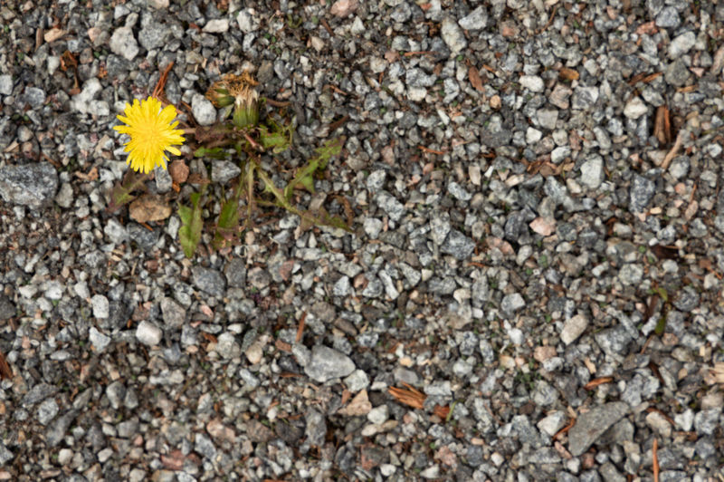 spring flower Flower Flowering Plant Plant Freshness Fragility Yellow Vulnerability  Nature No People Beauty In Nature Close-up Flower Head Day Outdoors Petal Growth Meager Poor  Arid Climate Lifestyles High Angle View Directly Above Gravel