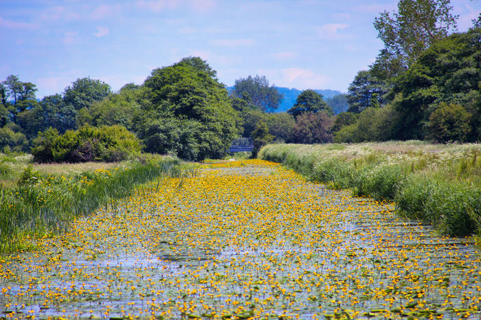 Nature Nature_collection Beauty In Nature Waters Edge Yellow Lillies Tree Flower Rural Scene Agriculture Horticulture Yellow Field Flowerbed Sky Wildflower In Bloom Plant Life Blooming