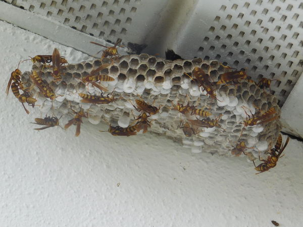 Bee Bee Close Up Bee Colony Beehive Bees Bees At Work Beesofeyeem Blackandyellow Bugs Bugslife Busy Bees Buzz Hive Honey Bees  HoneyBee Hornet Hornets Hornets Nest Insects  Nest No People Wasp Wasp At Work Worker Bees Workerbee
