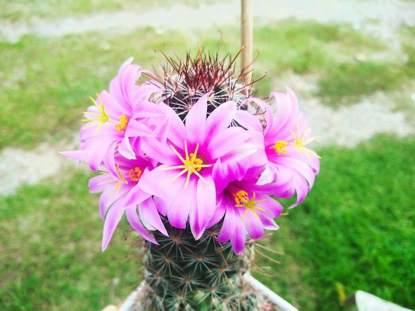 Cactus Mammillaria Mammillaria Flower Thailand แคคตัส กระบองเพชร แมมหนามตะขอ ดอกไม้ ดอกไม้ (Flower) สีชมพู Pink Color Pink Flowers Flower Head Flower Pink Color Insect Thistle Petal Butterfly - Insect Close-up Plant In Bloom Plant Life Stamen Botany Pollen Blossom