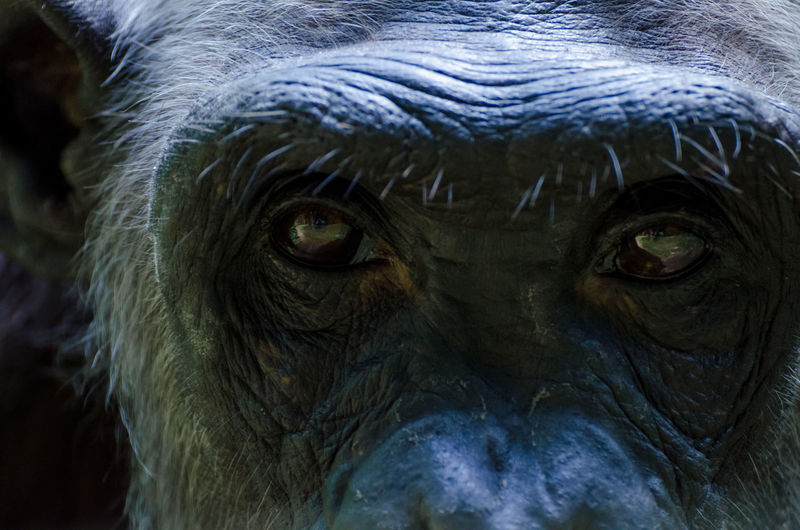Close-up portrait of chimpanzee